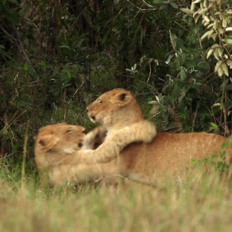 lions_and_cab