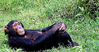 olpejeta_chimpanzee